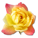 rose-yellow-2