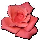 rose-coral
