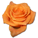 rose-orange-2