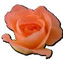 rose-peach-2