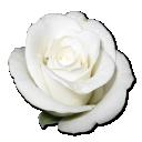rose-white-1
