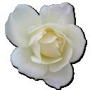rose-white-2