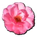 wild-rose-pink-1