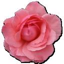 wild-rose-pink-2