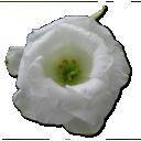 wild-rose-white-1