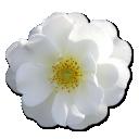 wild-rose-white-2