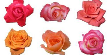 Rose Icons