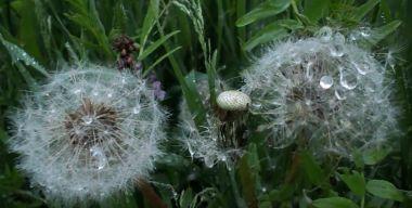 Dandelions and rain